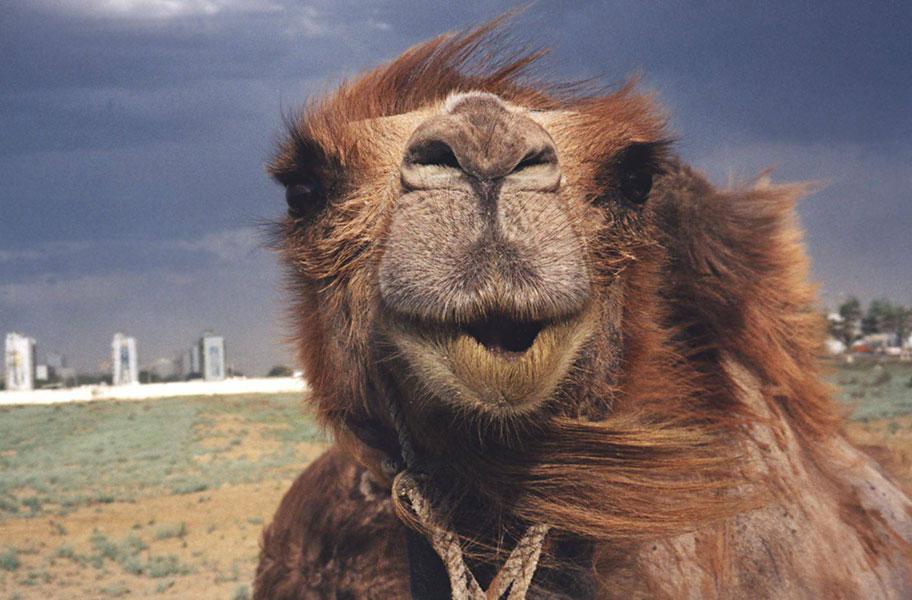 Верблюд говорящий
