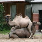 Верблюжий дуэт